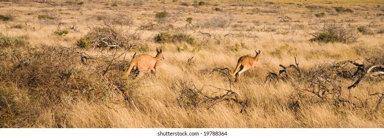 Kangaroos in Australian outback