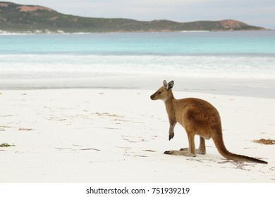 Kangaroos close up on white beach Lucky Bay