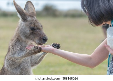 Kangaroo's eating food from tourist's hand