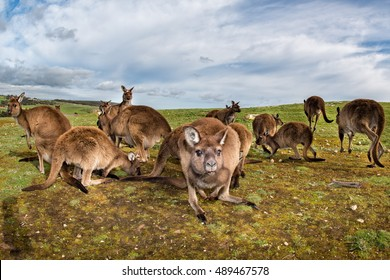 Kangaroos family while looking at in kangaroo island stokes bay on cloudy sky background
