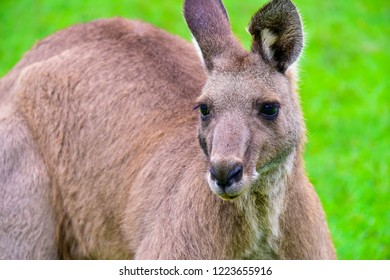 Kangaroos in the fields of a forest Australia