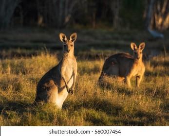 Kangaroos in golden light at sunset