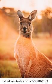 Kangaroos at Heirisson Island in Perth, Western Australia