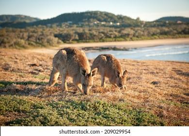 Kangaroos at Look At Me Now Headland,  Emerald Beach near Coffs Harbour