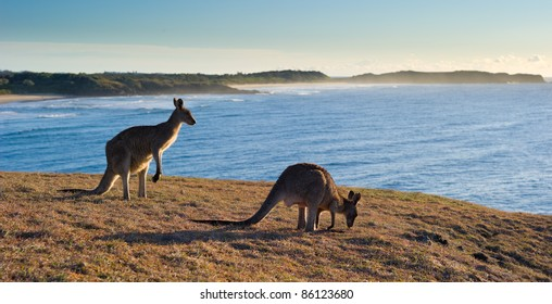 Kangaroos at Look At Me Now Headland,  Emerald Beach near Coffs Harbour, Australia