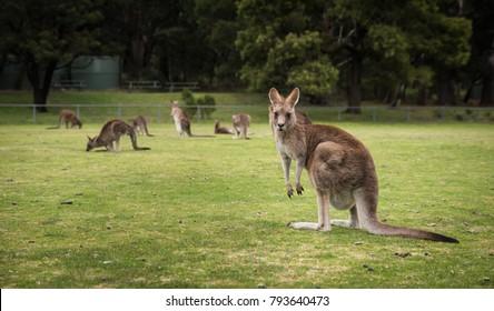Kangaroos, native Australian Wildlife animals at Halls Gap oval, famous tourist attraction in Grampians, VIC, Australia