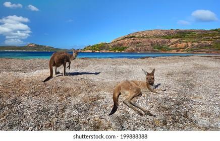 Kangaroos on Australian beach. Kangaroos at Lucky Bay Esperance Western Australia.