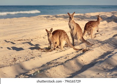 Kangaroos on the beach in Bribie Island, Brisbane, QLD, Australia