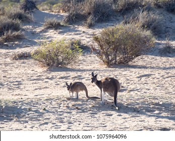 Kangaroos on the shore of Murchison River, Kalbarri National Park, Western Australia