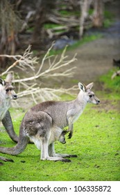 Kangaroos in Phillip Island Wildlife Park