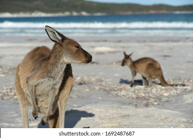Kangaroos Relaxing on the Beach