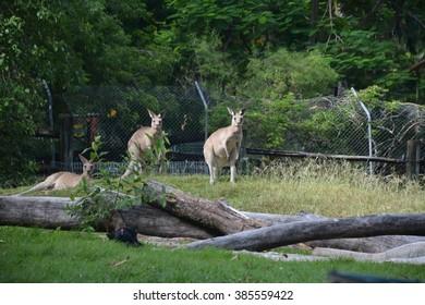 Kangaroos at Rockhampton Botanical Gardens.