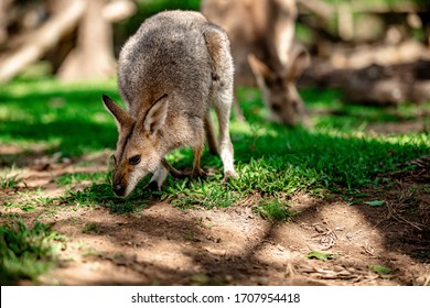 Kangaroos and wallabies at the santuary, Brisbane, Queensland, Australia