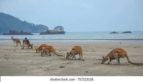 Kangaroos and wallabies search for food at sunrise at the Cape Hillsborough National Park just north of Mackay, Queensland