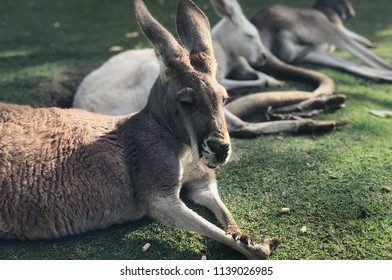 Kangroo is the famous wild life animal in Australia.