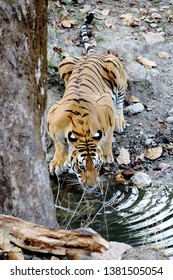 Kanha, India – March 5, 2019: At Kanha National Park, a tiger is drinking from a pool