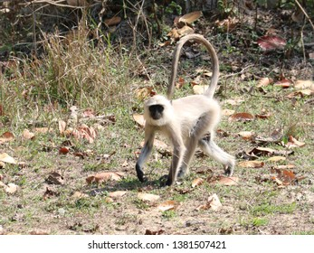 Kanha, India – March 6, 2019: At Kanha National Park, portrait of a white monkey