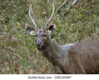 Kanha, India – March 7, 2019: At Kanha National Park, portrait of a deer