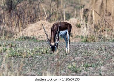 Kanha National Park, India A Blackbuck (Antilope cervicapra) eating grass