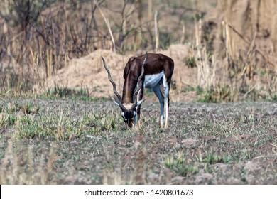 Kanha National Park, India A male Blackbuck (Antilope cervicapra) grazing