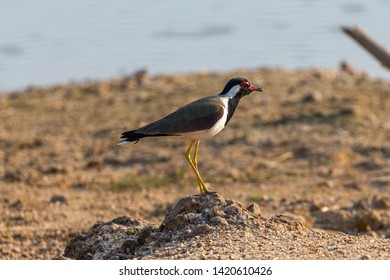 Kanha National Park, India A Red-wattled Lapwing (Vanellus indicus) on the shore of a lake