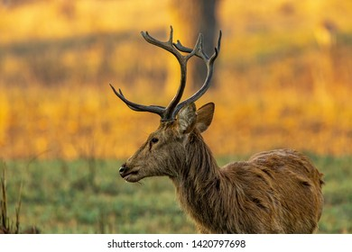 Kanha National Park, India A Sambar Deer (Rusa unicolor) with antlers in the dawn light