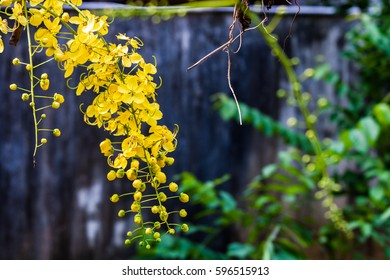 Kanikkonna - Golden shower, Cassia Fistula, bloom in tree. This flower is using by  Hindu Vishu festival for Vishu kani. Also national flower of Thailand