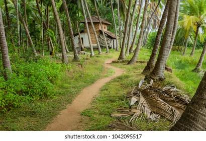 Kannur, Kerala, India. Footpath through coconut plantation with derelict house in distance in monsoon season in Thottada village, Kannur, Kerala, India.