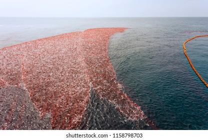 Kannur, Kerala, India. A large net full of sardine being hauled in while fishing in Arabian Sea off coast of Kannur during monsoon, Kerala, India.