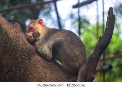 Kannur Kerala India October 4 2018 Sleeping Monkey