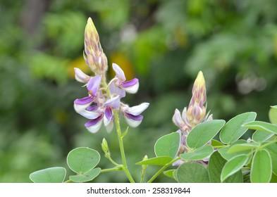 """Kanpaimahidol"" flower from Siriraj hospital. thailand"