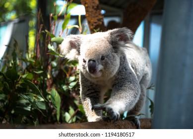 Kaola bear very close in the Taronga Zoo Sydney