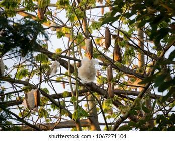 Kapok, Capoc on tree or White silk cotton tree.