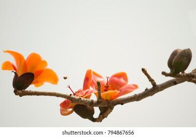 Kapok flower blooms ,in Taipei ,spring