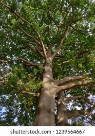 A kapok or silk cotton tree (Bomax ceiba)