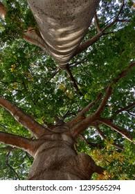kapok or silk cotton tree (Bombax ceiba) in lalbagh botanical gardens, Bangalore, India