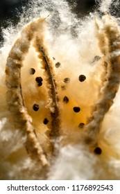 kapok silk cotton tree seed dispersal