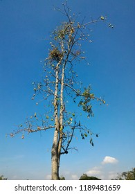 kapok tree with blue sky in the background in yogyakarta indonesia
