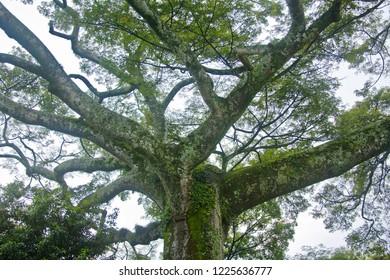 Kapok tree branches and foliage.