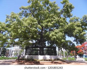 Kapok tree (Ceiba pentandra) in Havana (Cuba)