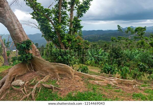 kapok tree or ceiba pentandra on hilltop of cordillera central in ponce puerto rico