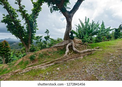 kapok tree or ceiba pentandra and vegetation on hilltop of cordillera central near ponce puerto rico