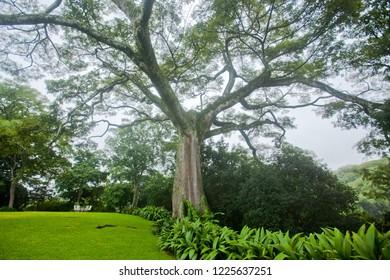 Kapok tree in a garden.