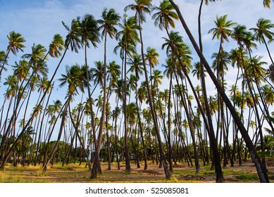 Kapuaiwa Coconut Grove is one of the last royal coconut groves in Hawai'i. King Kamehameha IV had a thousand coconut palm trees planted to honor his warriors during his reign in the 1860s.
