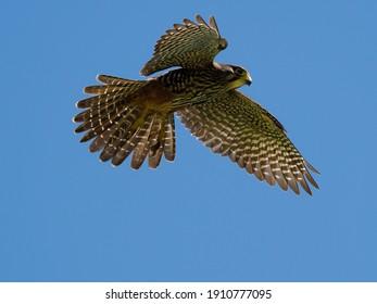 Karearea - New Zealand Falcon in flight