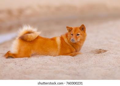 Karelo Finnish Laika. Dog. A pet.