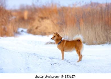 Karelo Finnish Laika in snow-covered forest. Laika. Finnish Spitz.