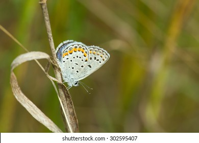 'Karner' Melissa Blue butterfly perched on a stalk of grass.