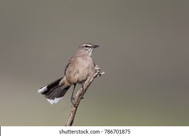 Karoo Robin also known as Karoo Scrub robin (Erythropygia coryphaeus) perched, isolated against a blurred background, Western Cape, South Africa