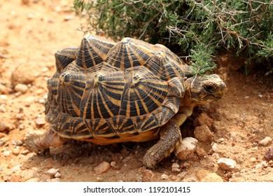 Karoo Tent Tortoise in the its natural habitat